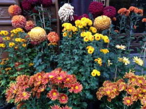 A seasonal array of Chrysanthemums reminds one of the falling leaves, the coming of winter and consciousness of time passing...